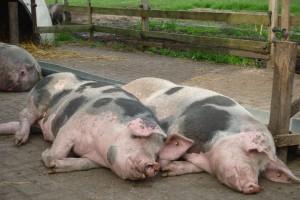 de Feijterhof: Ein Schweineleben