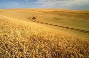 Was ist so schlimm an Getreide?
