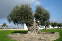 Ist Olivenöl gesund?